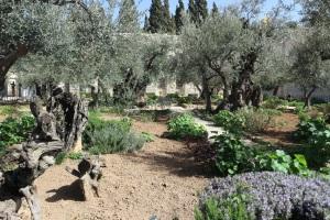 De Tuin van Getsemane Jeruzalem